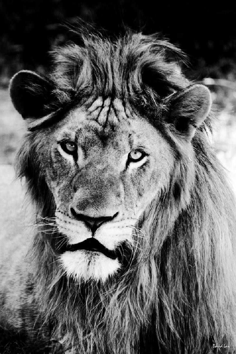 LAW SAUVAGE LION REGARD -