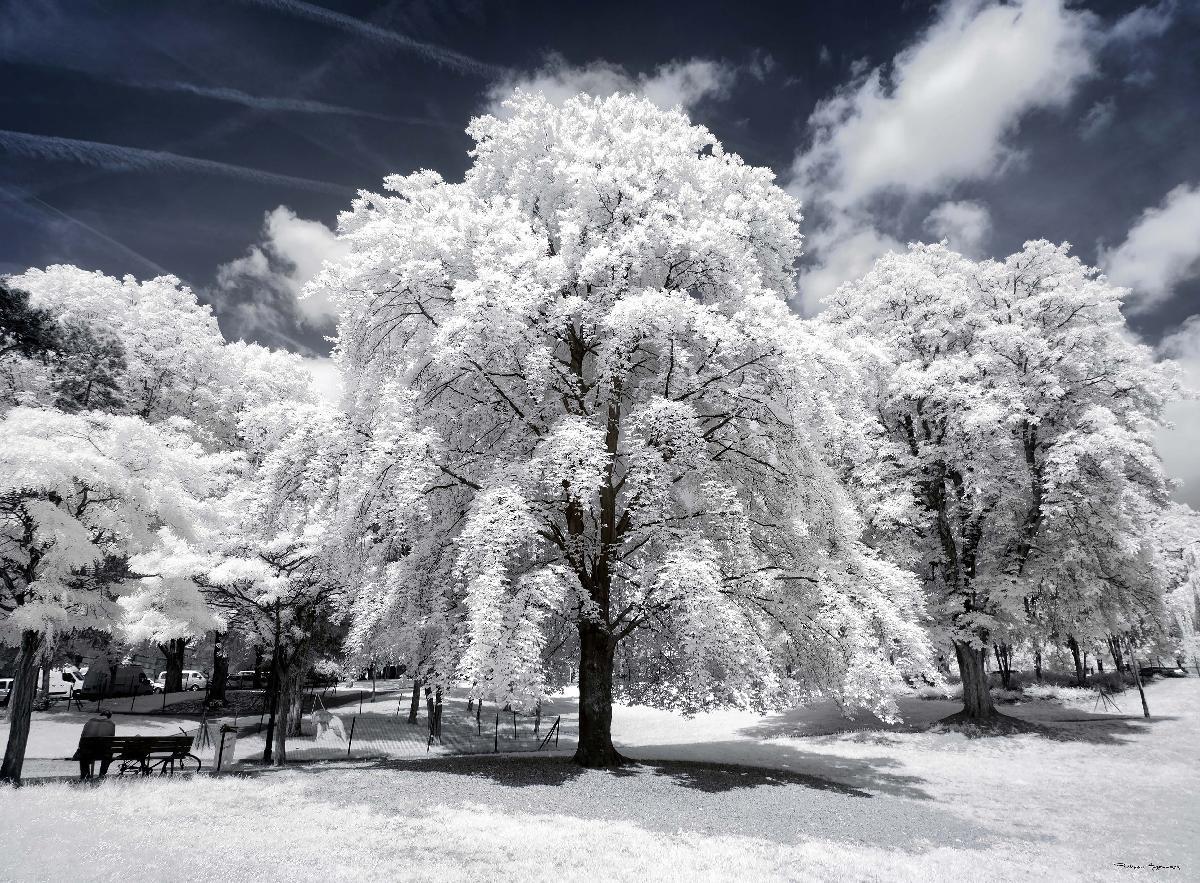 neige pleureuse -