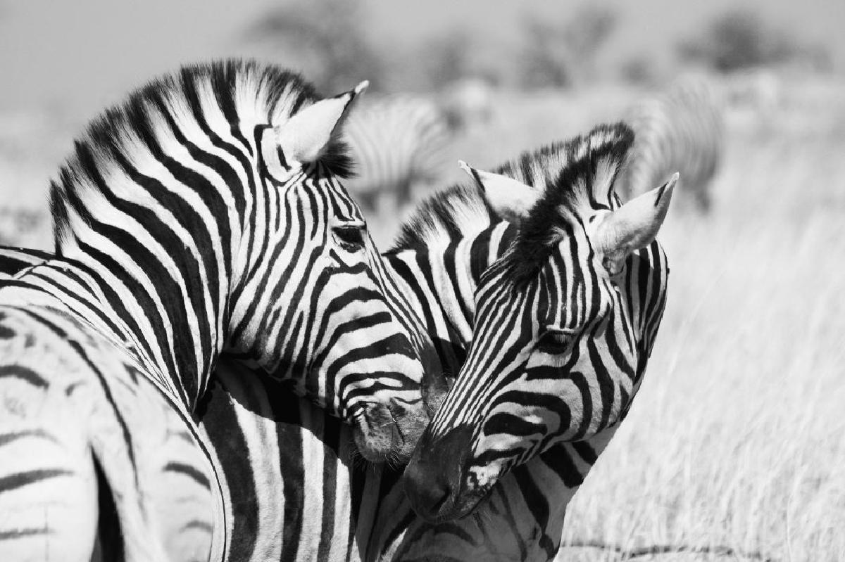 zebra love -