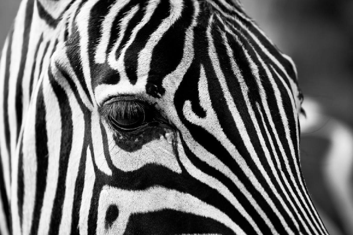 zebra eyes -