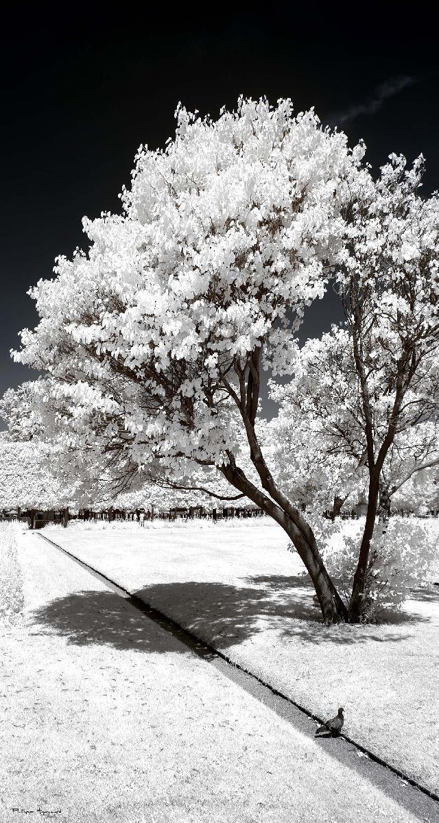 flocons de cerisier