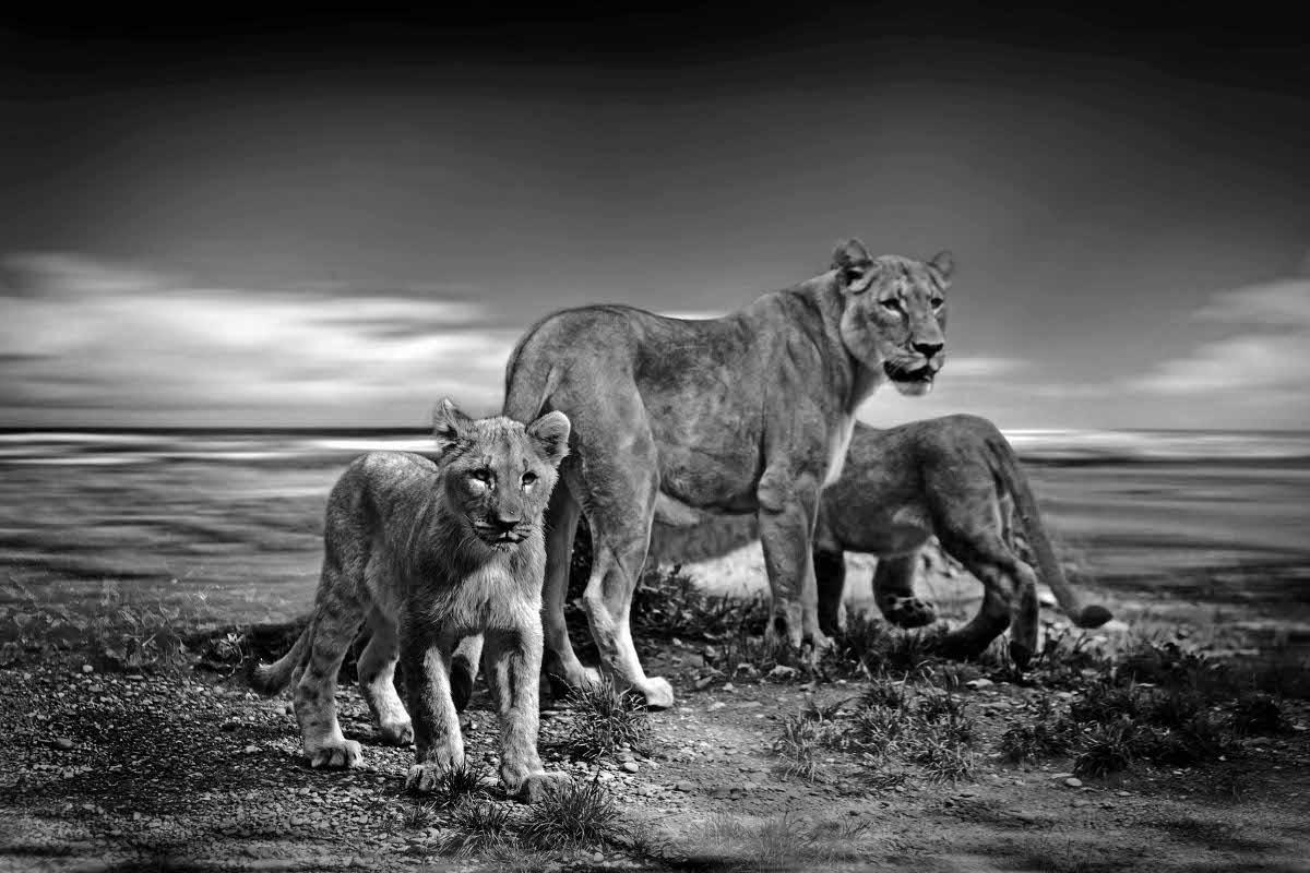 ETHNIC FAMILY LION