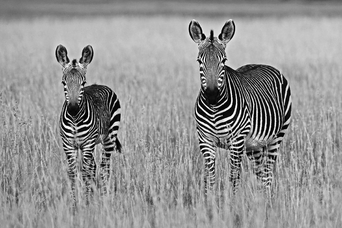 zebras field