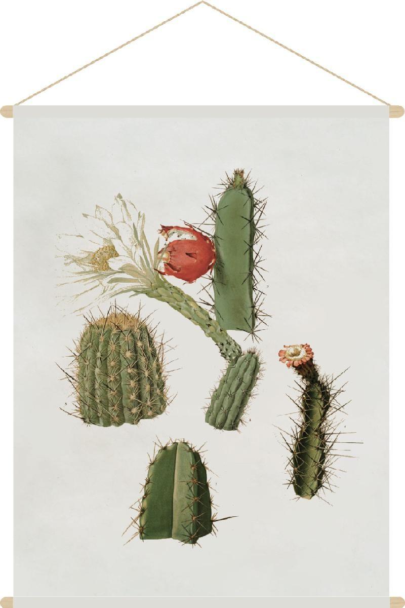 planche cactaceae